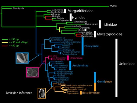 This slide shows the phylogenetic distributions of the various glochidium morphologies in the Unionidae.